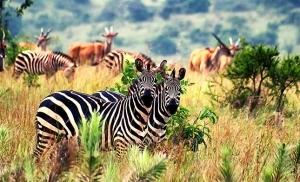 זברות בשמורת אקגרה רואנדה