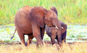 שני פילים בשמורת טרנגירי בטנזניה