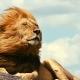 אריה בסוואנה באפריקה