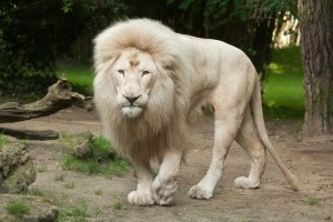 White lion (Panthera leo krugeri).