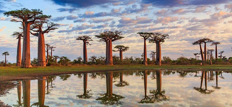 עצי באובב במדגסקר