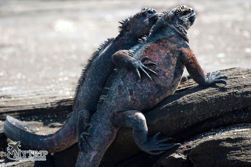איגואנות ימיות בגלפגוס