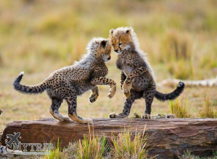 גורי נמרים בקניה