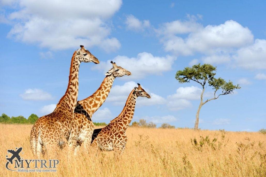 גירפות בטיול לקניה