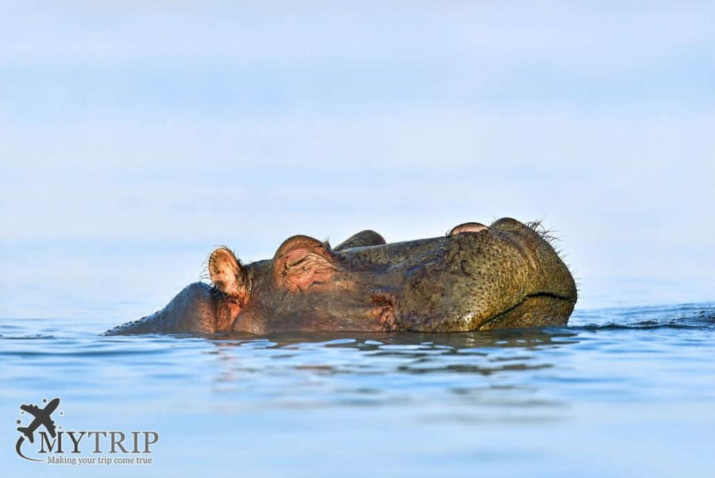 Hippopotamus Masai Mara קניה