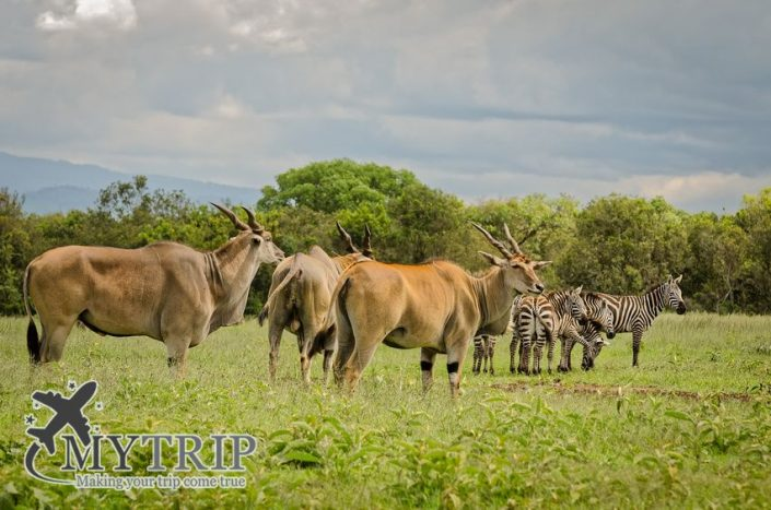 קניה Eland antelopes and Zebras in Aberdare, Kenya