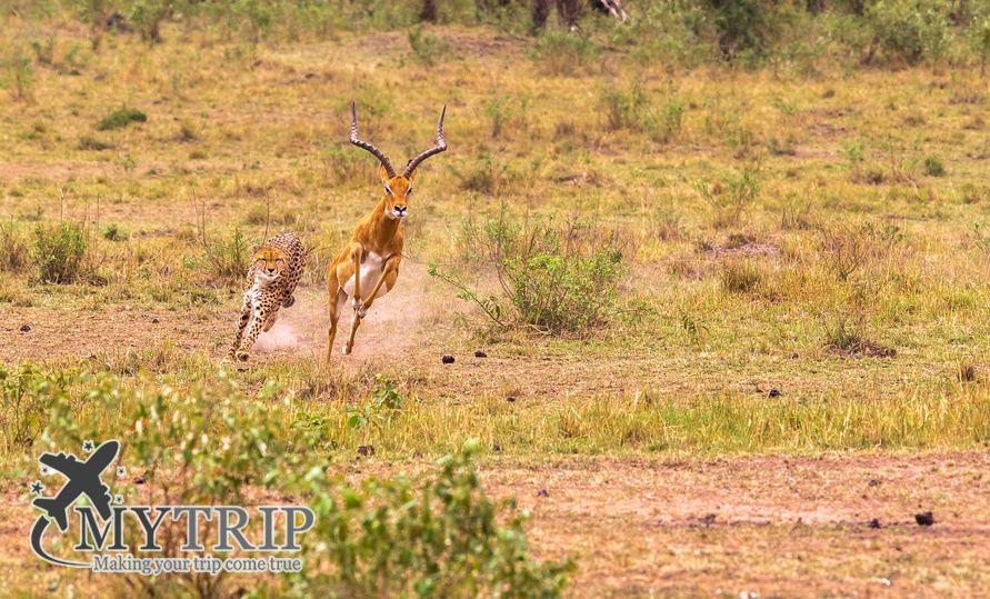 Hunting cheetah in the savannah. Masai Mara, Kenya.