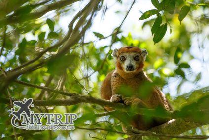 למור חיות מדגסקר