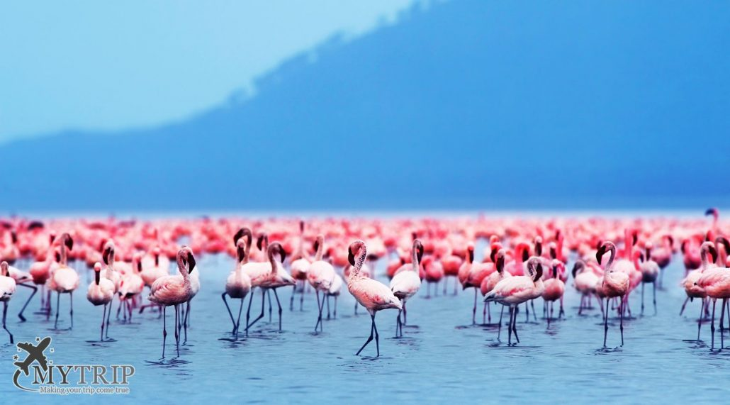 African flamingos קניה