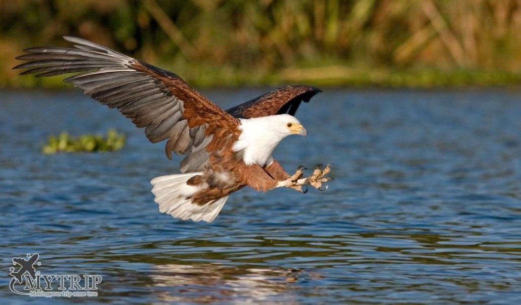 עוף דורס בקניה