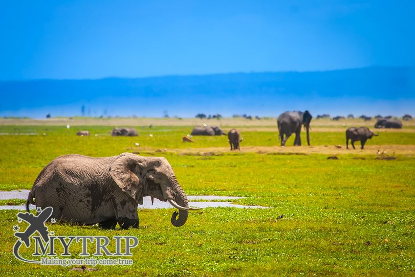 An elephant at Mount Kilimanjaro. Elephants in the shroud. Kenya. Africa. African elephant.