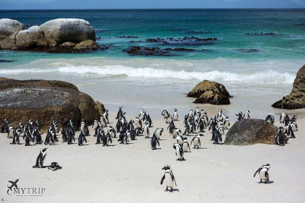 פינגוינים - דרום אפריקה