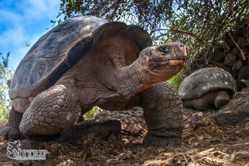 צבי ענק בגלפגוס