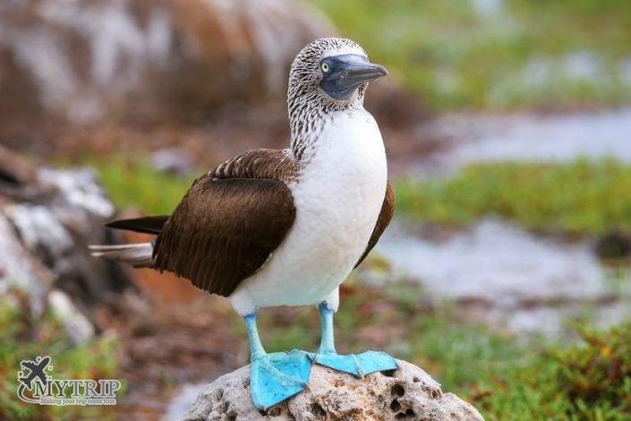 ציפור בטיול בגלפגוס
