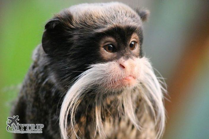 קופים בפרו