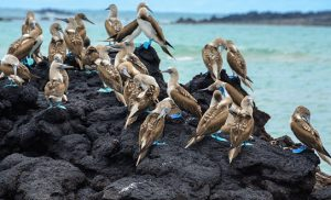 ציפורים על סלע באי איזבלה בגלפגוס