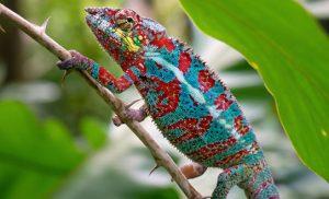 זיקית צבעונית במדגסקר