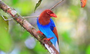 ציפור נדירה ביער הגשם סינהראג'ה בסרי לנקה