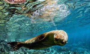 כלב ים צולל בגלפגוס
