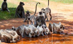 קופי מקוק בטיול בסרי לנקה