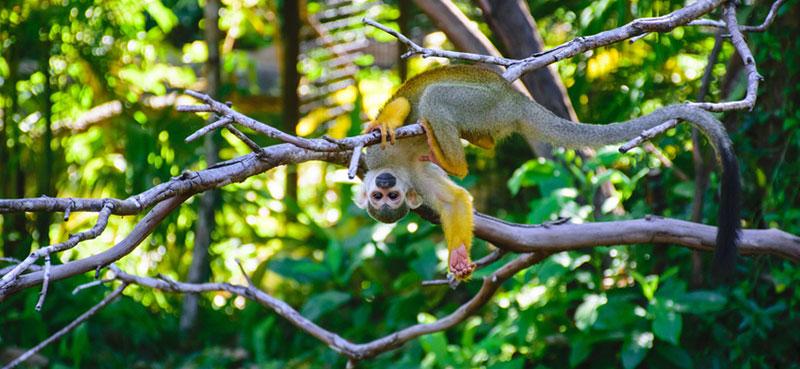קוף מקאו תלוי על עץ בקוסטה ריקה