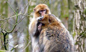 שני קופי מקוק ברברי במרוקו