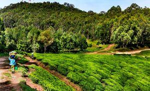 מטעי תה רואנדה