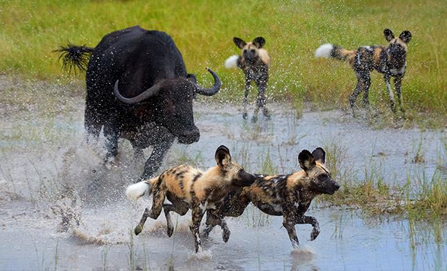 טיול ספארי בבוצואנה