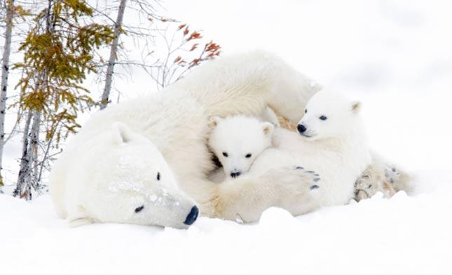 דובים לבנים בטבע