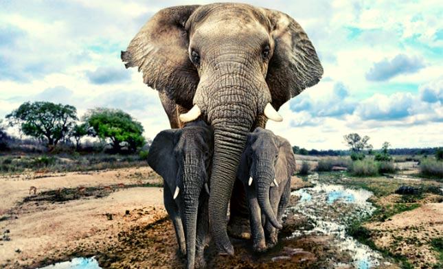 פילים בספארי באפריקה