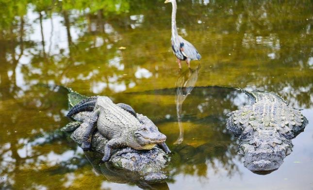 תנינים בנהר