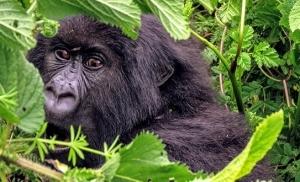 גורילה-בשמורת-וולקנוס-ברואנדה