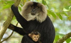 קופים ברואנדה