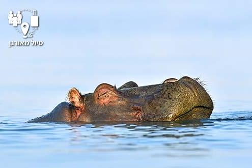 היפופוטם במים בטנזניה