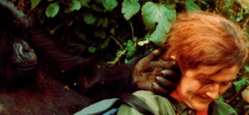דיאן פוסי וגורילה ביער ברואנדה