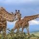 שתי ג'ירפות בסרנגטי בטנזניה