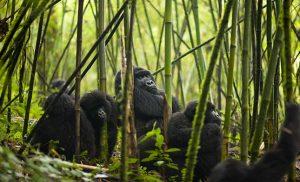 משפחת גורילות ביער במבוק