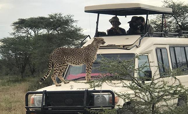 צ'יטה על ג'יפ בטיול ספארי בטנזניה