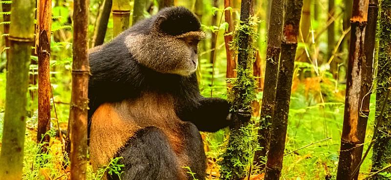 קוף מוזהב בשמורת נונגווי