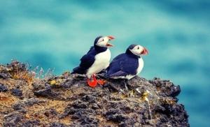 שתי-ציפורי-פאפין-באיי-ווסטמן-איסלנד