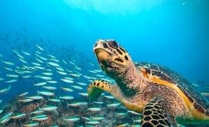צב מים באוקיינוס ההודי סיישל
