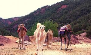 גמלים בעמק אאוריקה במרוקו