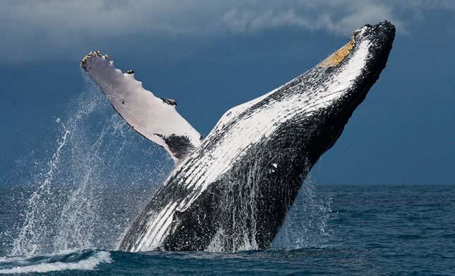 צפייה בלווייתנים בהוסוויק איסלנד
