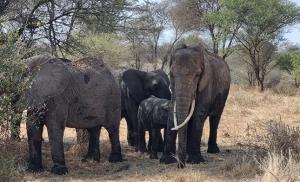 פילים בשמורת טרנגירי בטנזניה