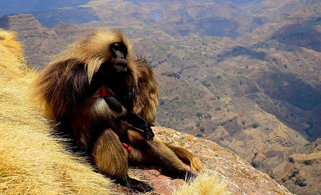 SIMIEN MONKEY ETHIOPIA