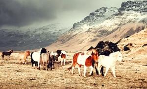 סוסים באיסלנד