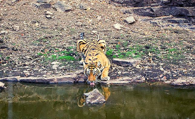 Bengal tiger RANTHAMBORE NP INDIA
