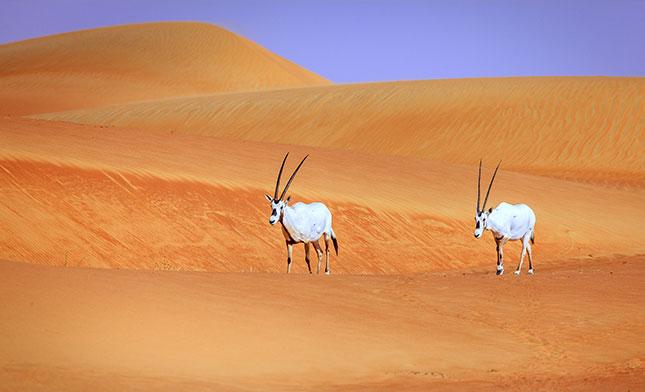 Oryxes or Arabian antelopes in the DUBAI Desert