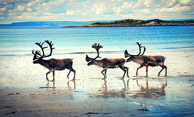 Reindeer-NORWAY