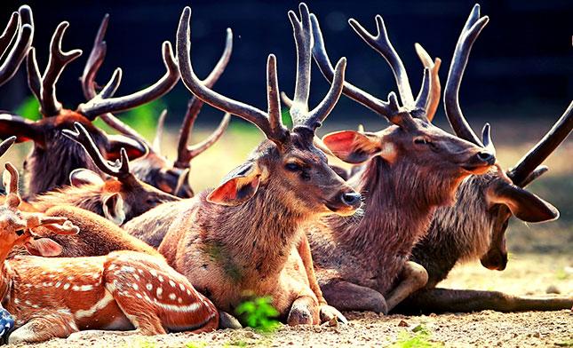 Sambar deer RANTHAMBORE NP INDIA